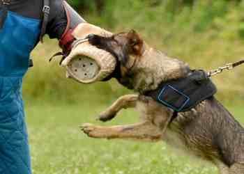 Εκπαίδευση σκύλων φύλαξης