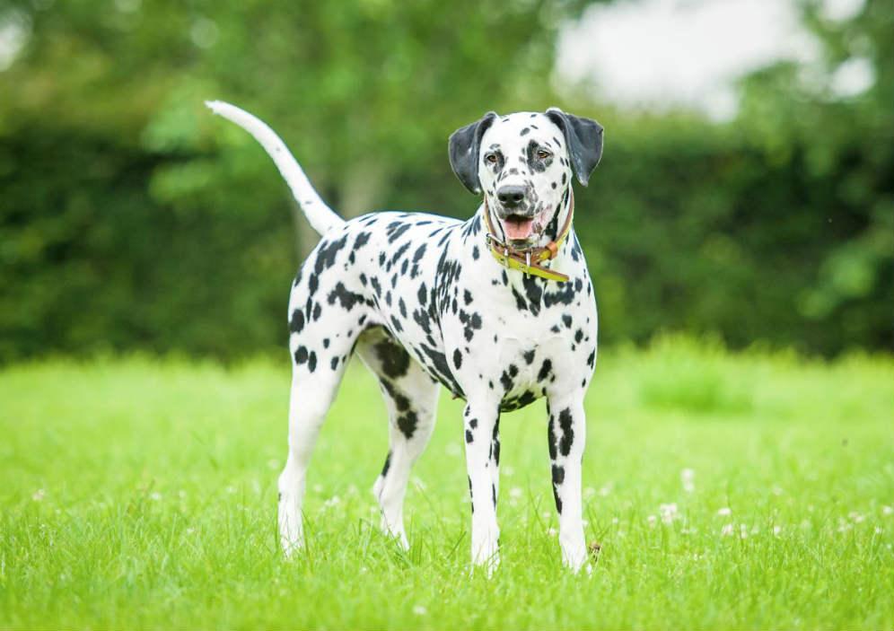 Photo of Σκύλος Δαλματίας
